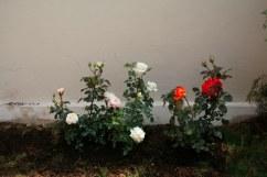 menanam mawar