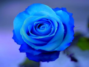 Blue-Rose-Wallpapers-HD